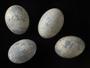 Smooth-billed Ani egg