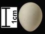 Black Phoebe egg