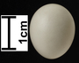 Say's Phoebe egg