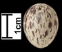 Ash-throated Flycatcher egg
