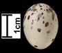 Western Kingbird egg