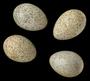 Pinyon Jay egg