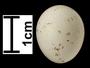 Bearded Reedling egg