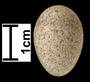 Desert Lark egg