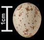 Carolina Chickadee egg