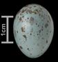 Sage Thrasher egg