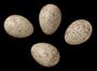 Ovenbird egg FMNH