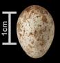Kirtland's Warbler egg