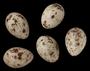 Bobolink egg FMNH