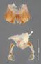 43808 Aphistogoniulus infernalis HT IN