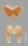55999 Aphistogoniulus rubrodorsalis HT IN