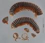 6169 Aphistogoniulus diabolicus HT P IN