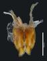 Phallorthus colombianus HT IN