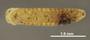 Glomeridesmus rotundatus HT V IN