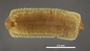 Desmethus chiriquensis HT V IN