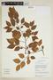 Maprounea guianensis Aubl., GUYANA, F