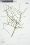 Euphorbia tirucalli image