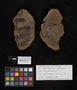 PP 2603 [HS, F] Odontopteris genuina, Moscovian / Desmoinesian, Francis Creek Shale Member, United States of America, Illinois, Mazon Creek Region