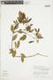 Euphorbia cotinifolia image