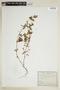 Euphorbia hypericifolia L., ARGENTINA, F