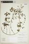 Euphorbia hypericifolia L., BOLIVIA, F