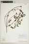 Euphorbia hypericifolia L., PERU, F