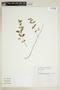 Euphorbia hypericifolia L., VENEZUELA, F