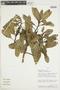 Euphorbia laurifolia image