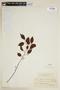 Maprounea guianensis Aubl., BRAZIL, F