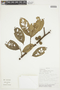 Pera glabrata (Schott) Poepp. ex Baill., BOLIVIA, F