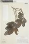 Pera glabrata (Schott) Poepp. ex Baill., VENEZUELA, F