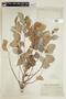 Phyllanthus acidus image