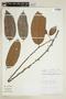 Helicostylis elegans (J. F. Macbr.) C. C. Berg, PERU, F
