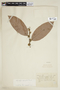 Helicostylis asperifolia Ducke, BRAZIL, F