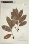 Helicostylis lancifolia Ducke, BRAZIL, F