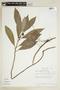 Dorstenia appendiculata Miq., BRAZIL, F
