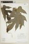 Dorstenia arifolia Lam., BRAZIL, F