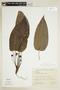 Dorstenia bahiensis Klotzsch, BRAZIL, F