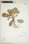 Dorstenia brasiliensis Lam., PARAGUAY, F