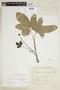Dorstenia cayapia subsp. vitifolia (Gardner) C. C. Berg, BRAZIL, F