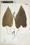 Dorstenia ramosa subsp. dolichocaula (Pilg.) C. C. Berg, BRAZIL, F