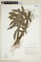 Dorstenia ramosa (Desv.) Carauta, C. Valente & Sucre subsp. ramosa, BRAZIL, F