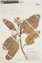 Micrandra sprucei (Müll. Arg.) R. E. Schult., VENEZUELA, F