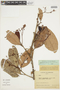 Micrandra sprucei (Müll. Arg.) R. E. Schult., COLOMBIA, F