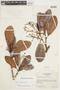 Micrandra sprucei (Müll. Arg.) R. E. Schult., BRAZIL, F