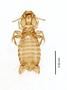 28865 Eutrichophilus emersoni PT d IN