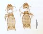 28867 Eutrichophilus emersoni PT d IN