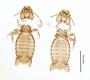 28867 Eutrichophilus emersoni PT v IN