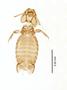28868 Eutrichophilus emersoni PT d IN