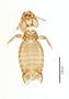 28868 Eutrichophilus emersoni PT v IN